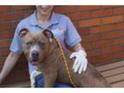 Adopt Jean Claude a Brown/Chocolate Terrier (Unknown Type
