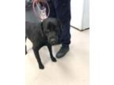 Adopt Dagwood a Labrador Retriever
