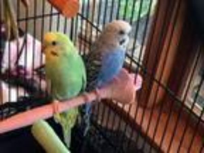 Adopt Willow and Stormy a Budgie / Budgerigar