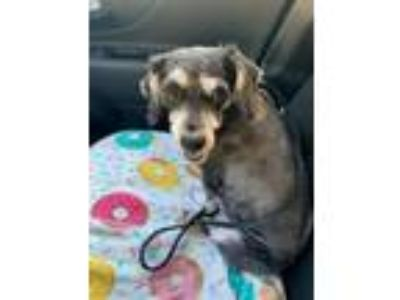 Adopt Oreo a Gray/Silver/Salt & Pepper - with Black Miniature Schnauzer / Poodle