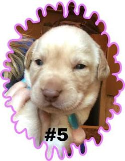 Labrador Retriever PUPPY FOR SALE ADN-80819 - Yellow female