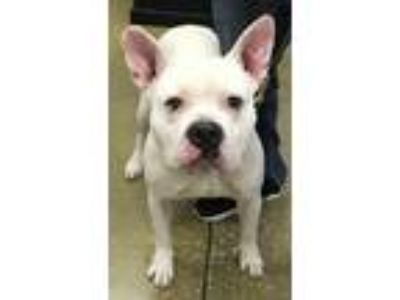 Adopt Stone a White - with Black American Staffordshire Terrier / Mixed dog in