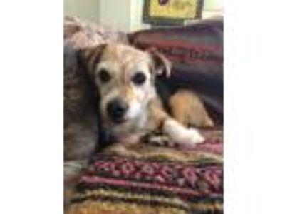 Adopt Ruffles a Tricolor (Tan/Brown & Black & White) Jack Russell Terrier /