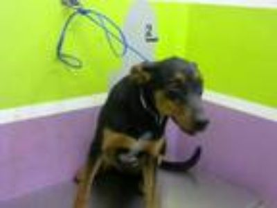 Adopt SCOUT a Doberman Pinscher, Australian Cattle Dog / Blue Heeler