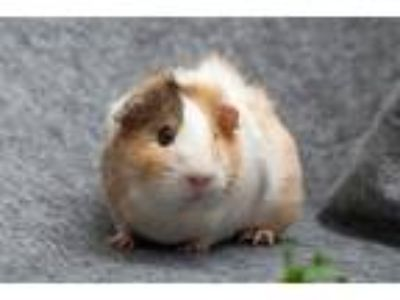 Adopt Cookie a Guinea Pig small animal in San Diego, CA (25551085)