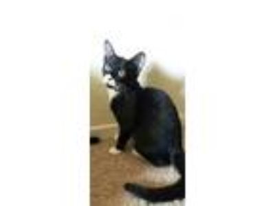Adopt Zina a Black & White or Tuxedo Domestic Shorthair / Mixed (short coat) cat