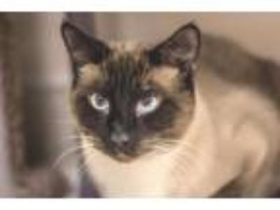 Adopt Sia a Siamese, Domestic Short Hair