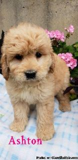 Small goldendoodle puppies