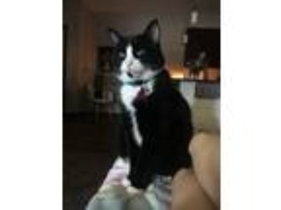 Adopt Piper a Black & White or Tuxedo American Shorthair cat in Lincoln