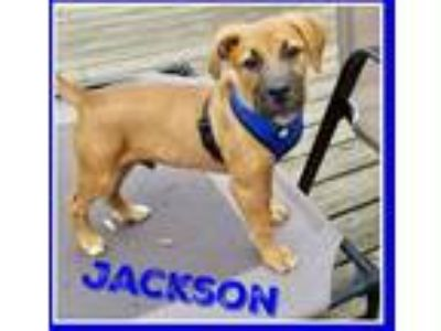 Adopt Jackson - puppy a Brown/Chocolate Shepherd (Unknown Type) / Mixed dog in