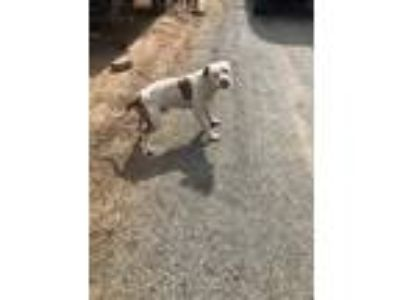 Adopt Ernie a White American Pit Bull Terrier / Mixed dog in Fresno