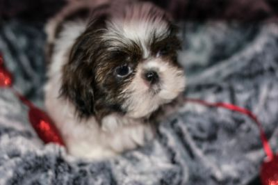 Shih Tzu PUPPY FOR SALE ADN-76991 - Remie