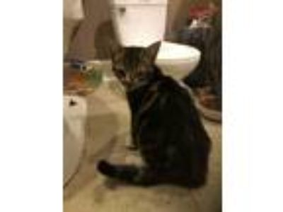Adopt MJ a Brown Tabby Domestic Shorthair / Mixed cat in Knightdale
