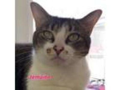 Adopt Jemaine a American Shorthair, Domestic Short Hair