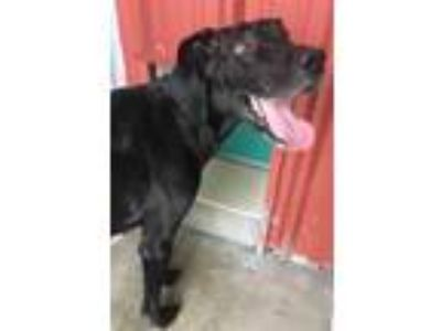 Adopt 41905005 a Great Dane, Mixed Breed