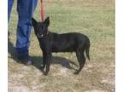 Adopt SALLY a Black Feist / Mixed dog in Clinton, NC (25810360)