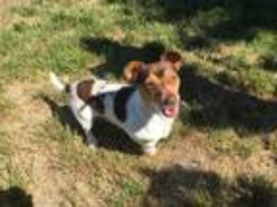 Adopt ANGEL* a Rat Terrier, Mixed Breed