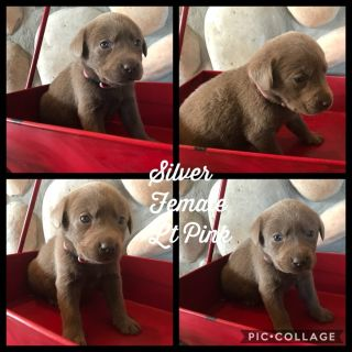 Silver & Charcoal AKC Puppies