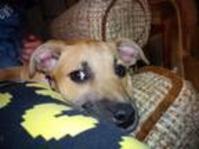 Adopt Macy Mae a Red/Golden/Orange/Chestnut - with Black German Shepherd Dog /