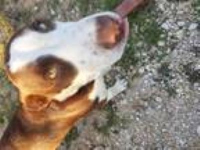 Adopt Pinto a Brown/Chocolate - with White Labrador Retriever dog in Von Ormy