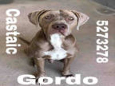 Adopt GORDO a Gray/Blue/Silver/Salt & Pepper American Pit Bull Terrier /
