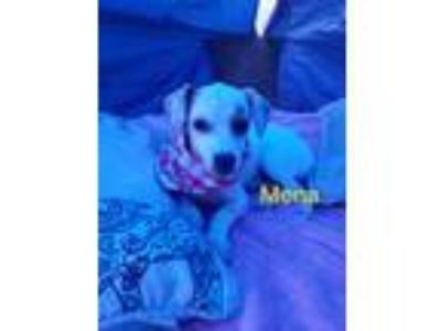 Adopt Mona a Tan/Yellow/Fawn Dachshund / Terrier (Unknown Type