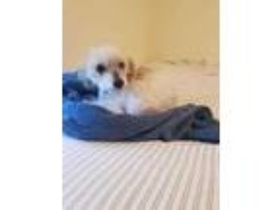 Adopt Peter a White Poodle (Miniature) / Bichon Frise / Mixed dog in Mentor