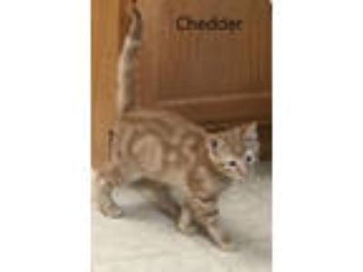 Adopt Chedder a Tabby