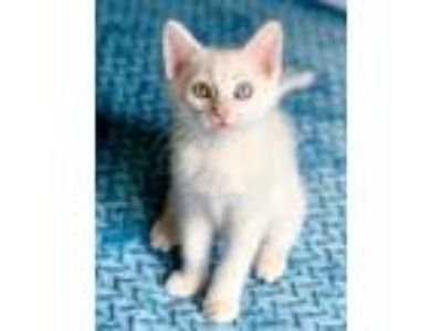Adopt Merlin a White Domestic Shorthair / Domestic Shorthair / Mixed cat in