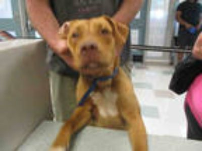 Adopt JAZZY a Red/Golden/Orange/Chestnut American Pit Bull Terrier / Mixed dog