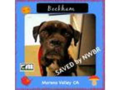 Adopt Beckham a Brindle Boxer / Mixed dog in Woodinville, WA (25870088)
