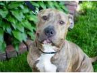 Adopt Lana a American Staffordshire Terrier