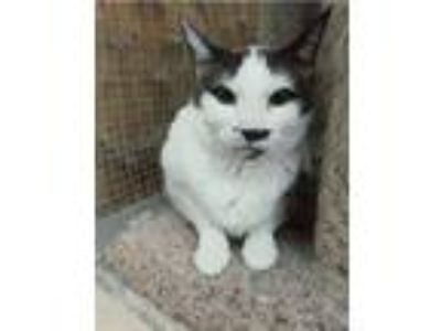 Adopt NOSY a Domestic Short Hair