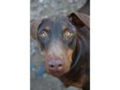 Adopt Gator a Brown/Chocolate - with Tan Doberman Pinscher / Mixed dog in