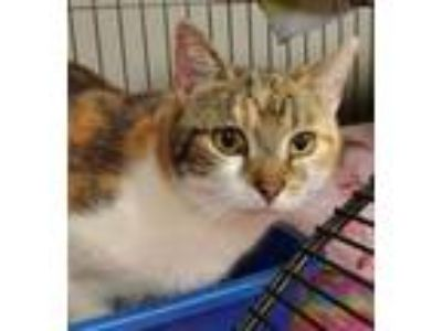 Adopt April (Buccaneer) a Domestic Short Hair