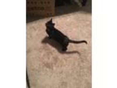 Adopt Boogie a All Black American Shorthair cat in Dahlonega, GA (25660469)