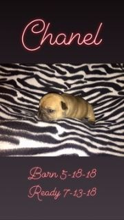 French Bulldog PUPPY FOR SALE ADN-80879 - Frenchie Puppies  Fawn with Black Mask