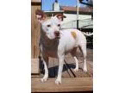 Adopt Darcy a Pit Bull Terrier, American Staffordshire Terrier