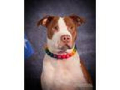 Adopt Maliek a American Pit Bull Terrier / Mixed dog in Germantown
