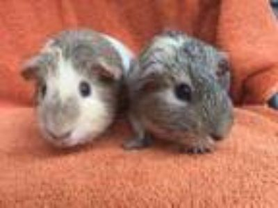 Adopt Pancake (bonded to Syrup) a Guinea Pig