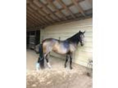 Great Trail HorseBay Registered Morgan Mare