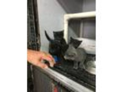 Adopt 5 kittens - GENDERS UNKNOWN a Domestic Short Hair