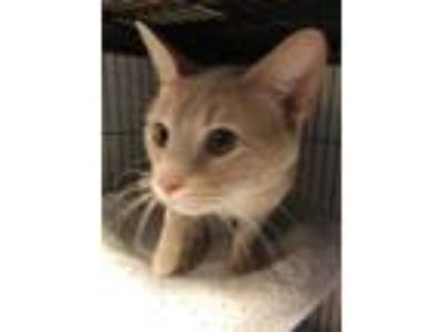 Adopt Victor a Tabby