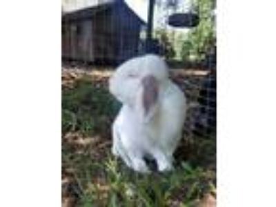 Adopt Lennen a Albino or Red-Eyed White Lop-Eared / Mixed (short coat) rabbit in