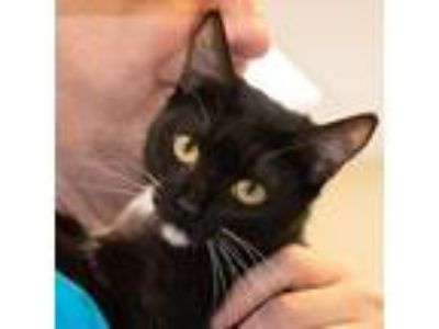 Adopt Melissa a Black & White or Tuxedo Domestic Shorthair / Mixed (short coat)