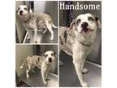 Adopt HANDSOME a Catahoula Leopard Dog, Mixed Breed