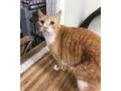 Adopt Madds a Domestic Short Hair, Tabby