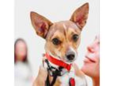 Adopt Alex Mack a Rat Terrier dog in New York, NY (25571691)