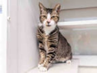 Adopt PEPIN a Brown Tabby Domestic Shorthair / Mixed (short coat) cat in Doral