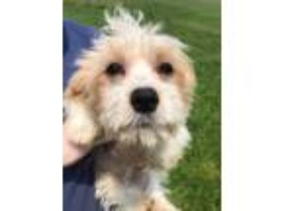 Adopt Woody a White Cavalier King Charles Spaniel / Poodle (Miniature) dog in